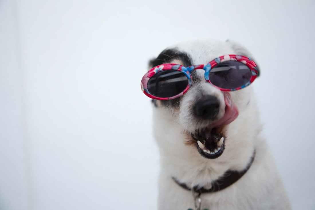 close up photo of dog wearing sunglasses